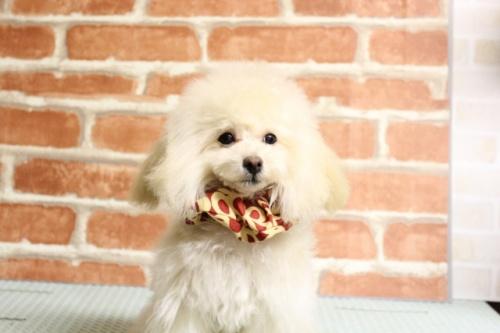 トイプードルの子犬(ID:1246211164)の3枚目の写真/更新日:2017-10-31