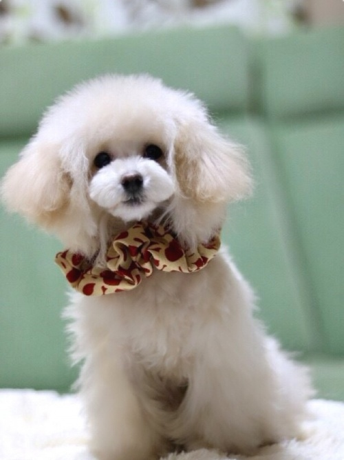 トイプードルの子犬(ID:1246211164)の4枚目の写真/更新日:2017-10-31