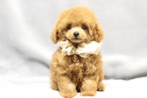 トイプードルの子犬(ID:1246211165)の1枚目の写真/更新日:2017-10-31