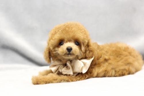 トイプードルの子犬(ID:1246211165)の2枚目の写真/更新日:2017-10-31