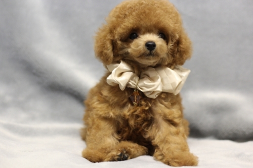 トイプードルの子犬(ID:1246211165)の3枚目の写真/更新日:2017-10-31