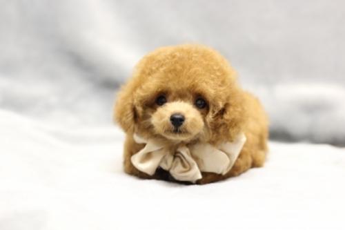 トイプードルの子犬(ID:1246211165)の4枚目の写真/更新日:2017-10-31