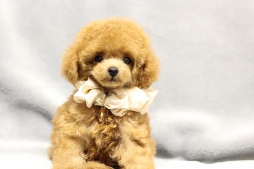 トイプードルの子犬(ID:1246211165)の5枚目の写真/更新日:2017-10-31