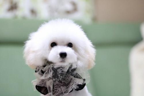 トイプードルの子犬(ID:1246211166)の1枚目の写真/更新日:2017-10-31