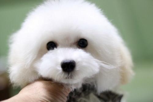 トイプードルの子犬(ID:1246211166)の3枚目の写真/更新日:2017-10-31