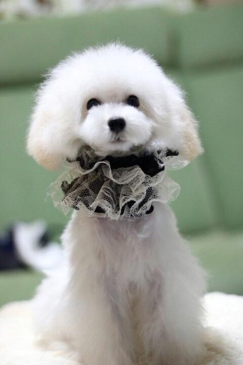 トイプードルの子犬(ID:1246211166)の4枚目の写真/更新日:2017-10-31