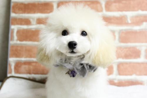 トイプードルの子犬(ID:1246211167)の1枚目の写真/更新日:2017-10-31