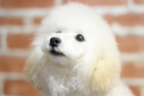 トイプードルの子犬(ID:1246211167)の2枚目の写真/更新日:2017-10-31