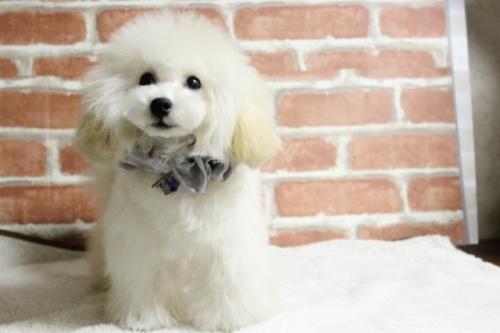 トイプードルの子犬(ID:1246211167)の4枚目の写真/更新日:2017-10-31