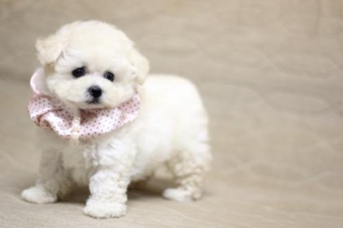 トイプードルの子犬(ID:1246211168)の2枚目の写真/更新日:2017-10-15