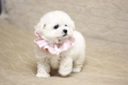トイプードルの子犬(ID:1246211168)の3枚目の写真/更新日:2017-10-15