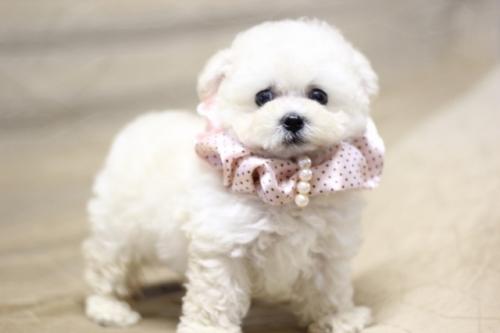 トイプードルの子犬(ID:1246211168)の4枚目の写真/更新日:2017-10-15