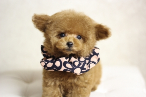トイプードルの子犬(ID:1246211169)の1枚目の写真/更新日:2018-07-23