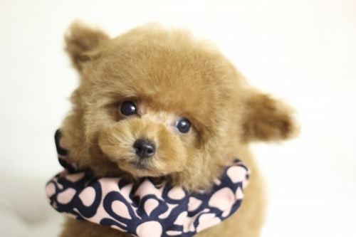 トイプードルの子犬(ID:1246211169)の2枚目の写真/更新日:2018-07-23
