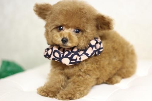 トイプードルの子犬(ID:1246211169)の3枚目の写真/更新日:2018-03-08