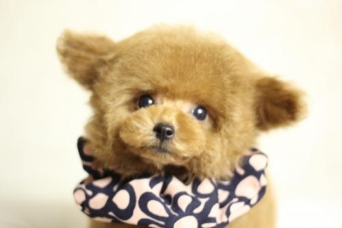 トイプードルの子犬(ID:1246211169)の4枚目の写真/更新日:2018-07-23