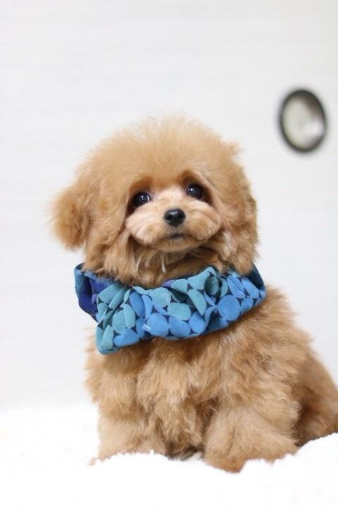 トイプードルの子犬(ID:1246211170)の1枚目の写真/更新日:2018-01-31