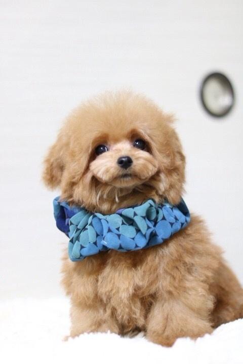 トイプードルの子犬(ID:1246211170)の3枚目の写真/更新日:2018-01-31