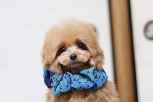トイプードルの子犬(ID:1246211170)の4枚目の写真/更新日:2018-01-31