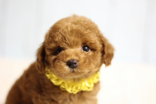 トイプードルの子犬(ID:1246211171)の1枚目の写真/更新日:2018-03-02