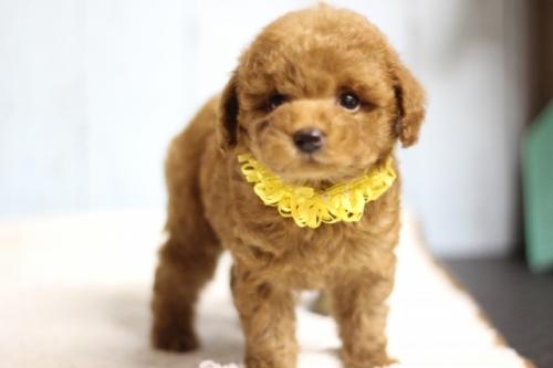 トイプードルの子犬(ID:1246211171)の2枚目の写真/更新日:2018-05-27