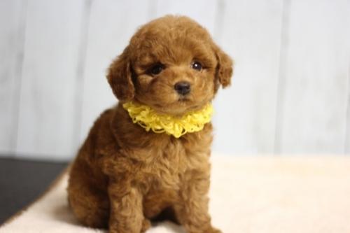 トイプードルの子犬(ID:1246211171)の3枚目の写真/更新日:2018-07-23