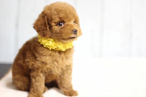 トイプードルの子犬(ID:1246211171)の4枚目の写真/更新日:2018-07-23