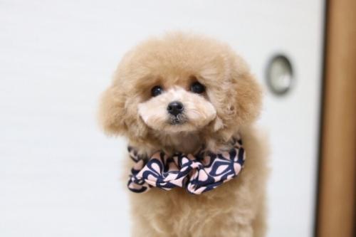 トイプードルの子犬(ID:1246211173)の1枚目の写真/更新日:2018-01-31