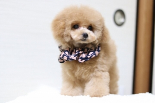 トイプードルの子犬(ID:1246211173)の2枚目の写真/更新日:2018-01-31