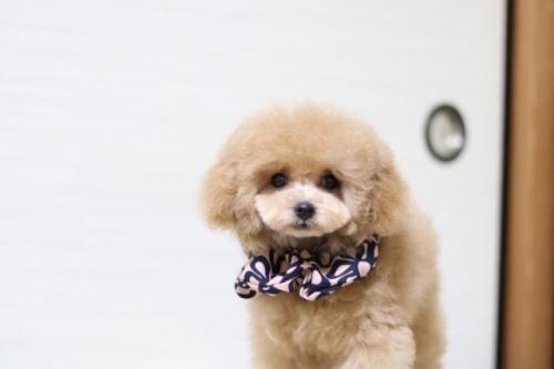 トイプードルの子犬(ID:1246211173)の3枚目の写真/更新日:2018-01-31