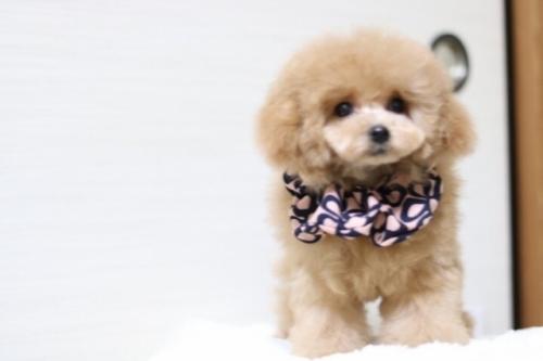 トイプードルの子犬(ID:1246211173)の4枚目の写真/更新日:2018-01-31