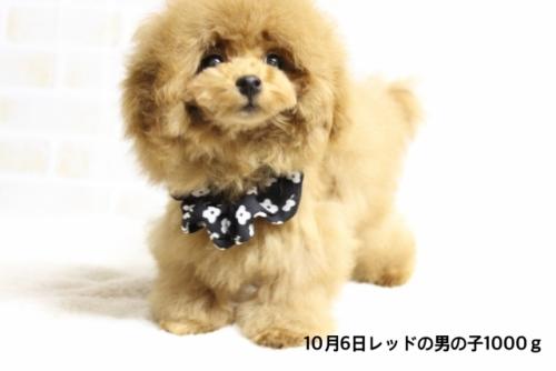トイプードルの子犬(ID:1246211174)の1枚目の写真/更新日:2018-03-08