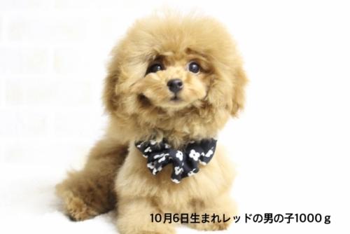 トイプードルの子犬(ID:1246211174)の2枚目の写真/更新日:2018-03-08