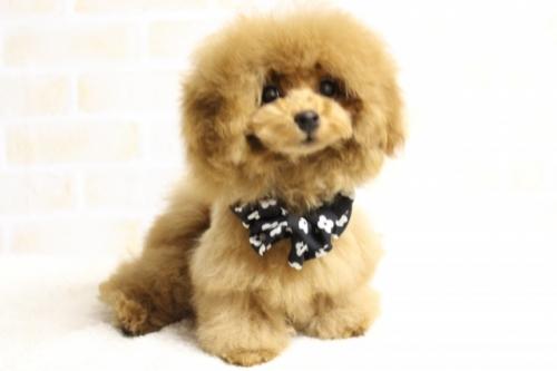 トイプードルの子犬(ID:1246211174)の3枚目の写真/更新日:2018-03-08