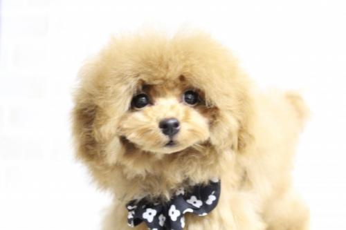 トイプードルの子犬(ID:1246211174)の4枚目の写真/更新日:2018-03-08