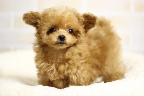 トイプードルの子犬(ID:1246211175)の1枚目の写真/更新日:2018-04-18