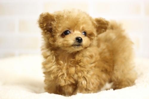 トイプードルの子犬(ID:1246211175)の2枚目の写真/更新日:2018-04-18