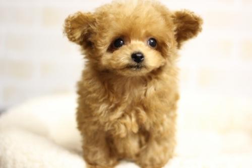 トイプードルの子犬(ID:1246211175)の3枚目の写真/更新日:2018-04-18
