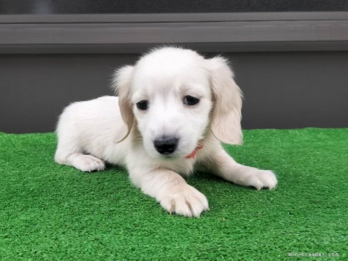 カニンヘンダックスフンド(ロング)の子犬(ID:1246311018)の2枚目の写真/更新日:2019-03-11