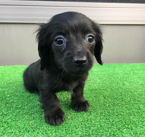 カニンヘンダックスフンド(ロング)の子犬(ID:1246311019)の1枚目の写真/更新日:2019-03-06