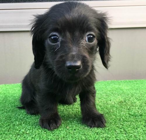 カニンヘンダックスフンド(ロング)の子犬(ID:1246311019)の3枚目の写真/更新日:2019-03-06