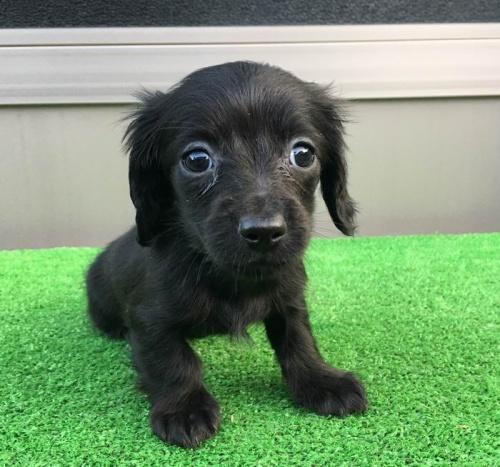 カニンヘンダックスフンド(ロング)の子犬(ID:1246311019)の5枚目の写真/更新日:2019-04-09