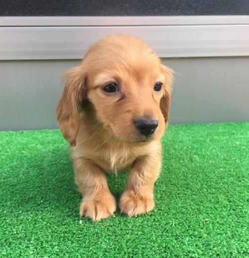 カニンヘンダックスフンド(ロング)の子犬(ID:1246311020)の1枚目の写真/更新日:2019-03-06