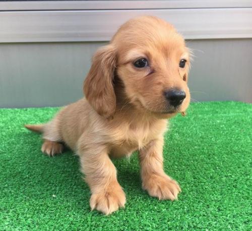 カニンヘンダックスフンド(ロング)の子犬(ID:1246311020)の2枚目の写真/更新日:2019-03-06