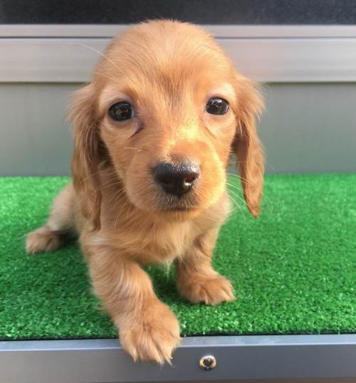 カニンヘンダックスフンド(ロング)の子犬(ID:1246311020)の3枚目の写真/更新日:2019-03-06