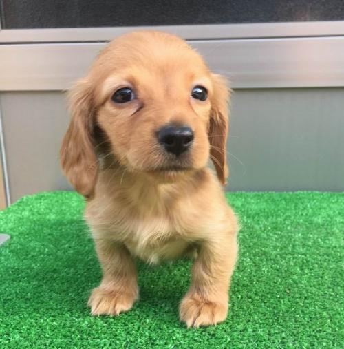 カニンヘンダックスフンド(ロング)の子犬(ID:1246311020)の4枚目の写真/更新日:2019-04-09