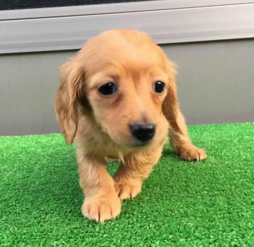 カニンヘンダックスフンド(ロング)の子犬(ID:1246311021)の1枚目の写真/更新日:2019-03-06