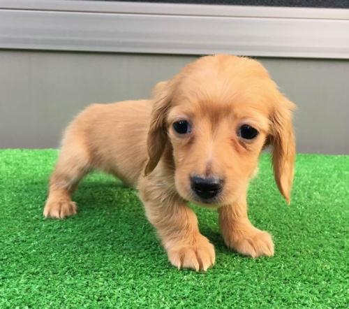 カニンヘンダックスフンド(ロング)の子犬(ID:1246311021)の3枚目の写真/更新日:2019-03-06