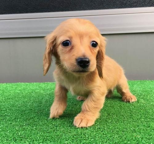カニンヘンダックスフンド(ロング)の子犬(ID:1246311021)の4枚目の写真/更新日:2019-04-09