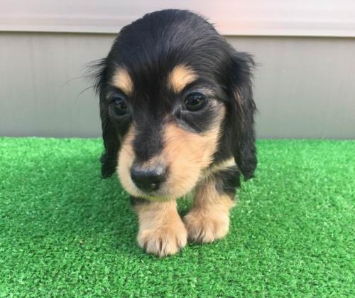 カニンヘンダックスフンド(ロング)の子犬(ID:1246311022)の1枚目の写真/更新日:2019-03-06